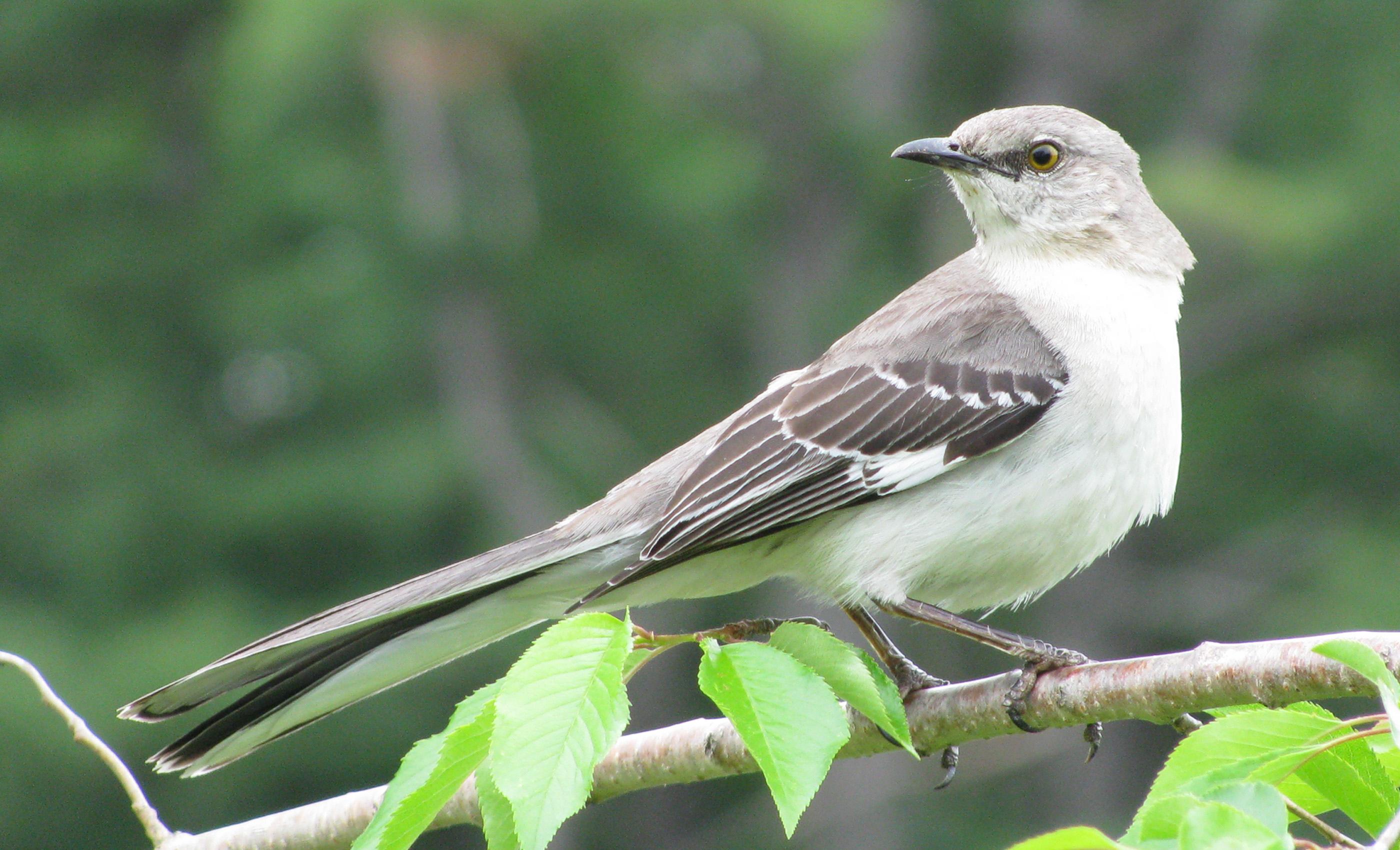 Texas Tx State Bird Northern Mockingbird