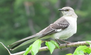 texas-tx-state-bird-northern-mockingbird