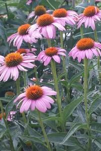 purple daisy cropped